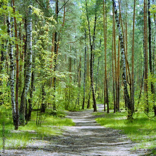 Foto op Canvas Weg in bos The trail in the forest with birches and pines in a spring day