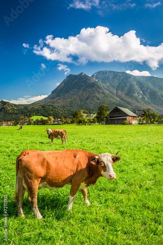 Spoed Fotobehang Schotse Hooglander Grazed cows on pasture in the Alps