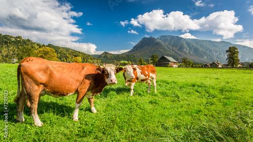 Spoed Fotobehang Schotse Hooglander Cows on pasture in the Alps