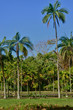 picturesque garden of Pamplemousse in Mauritius Republic