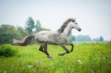 Fototapeta Konie - Andalusian stallion running on the pasture in autumn