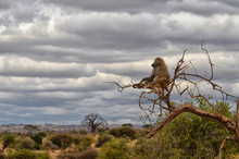 Lonely Baboon
