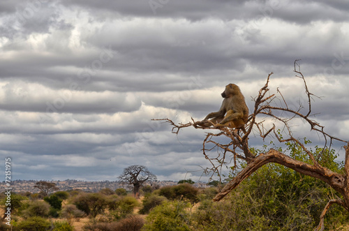 In de dag Afrika Lonely Baboon
