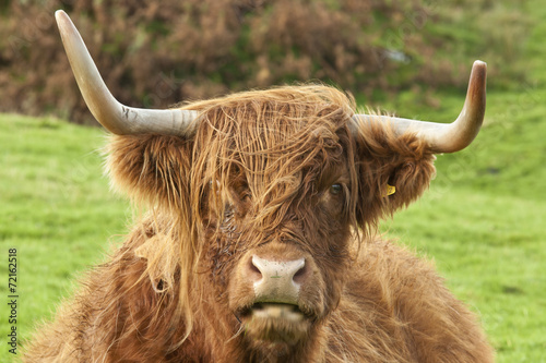 Fototapety, obrazy: Head of a Highland Cow