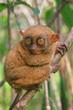 Tarsier sitting on a tree, Bohol island, Philippines