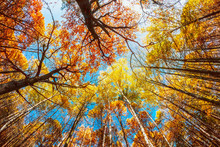 Tops Of The Trees In The Autumn Forest