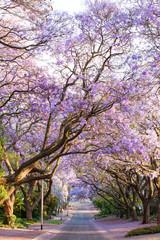 Fototapeta samoprzylepna Blooming jacaranda trees lining the street in South Africa's cap