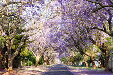 Jacaranda Tree-lined Street In...