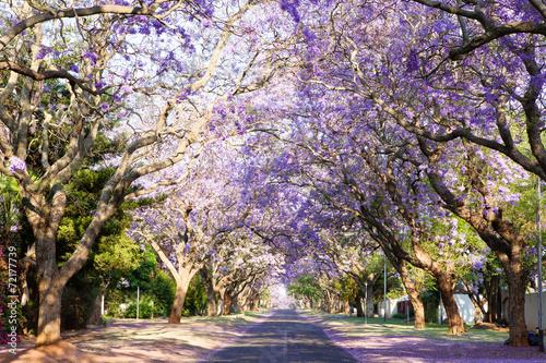 Foto op Plexiglas Zuid Afrika Jacaranda tree-lined street in South Africa's capital city