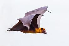 Side View Of Flying Male Lyle's Flying Fox (Pteropus Lylei)