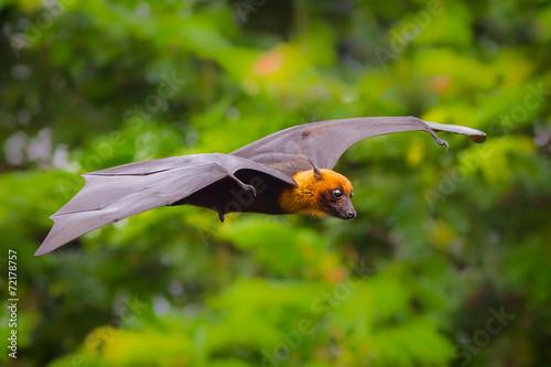 Flying male Lyle's flying fox (Pteropus lylei)