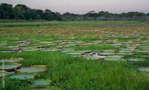 Fotografija  Brazilian Panantal river with victoria regia plants