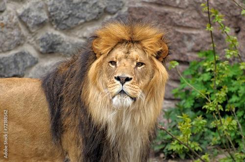 Fotobehang Leeuw Lion.