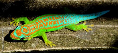 obraz PCV Kolorowe turkusowy zielony gekon
