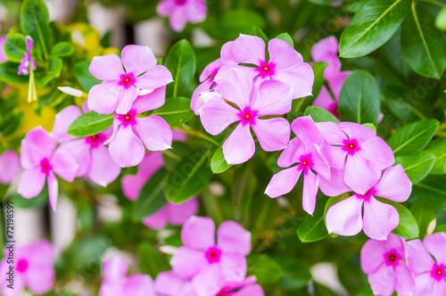 Fotografia pink vinca flowers