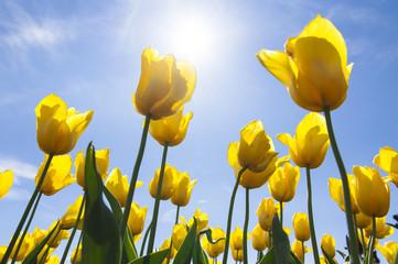 fototapeta żółte kielichy tulipanów