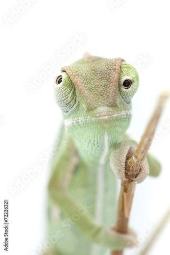 Staande foto Kameleon Beautiful baby chameleon as exotic pet, narrow focus on eyes
