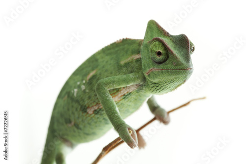 Fotobehang Kameleon Beautiful baby chameleon as exotic pet, narrow focus on eyes