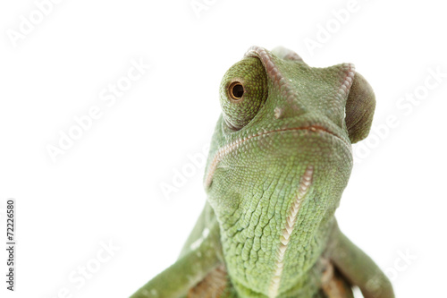 Papiers peints Cameleon Beautiful baby chameleon as exotic pet, narrow focus on eyes