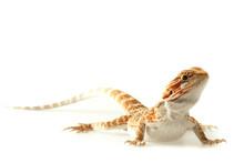 Pet Lizard Bearded Dragon Isol...
