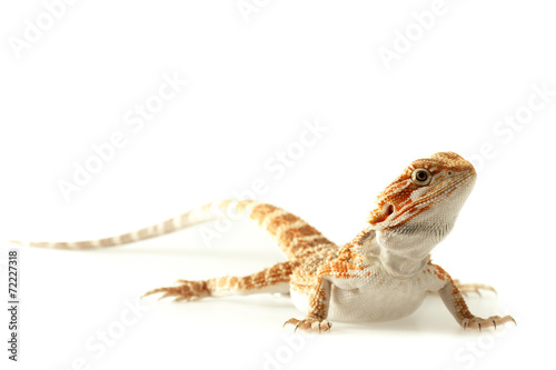 Photo  Pet lizard Bearded Dragon isolated on white, narrow focus