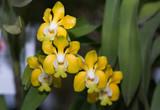 Żółte orchidee Vanda
