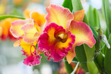 yellow and red hybrid cattleya orchid