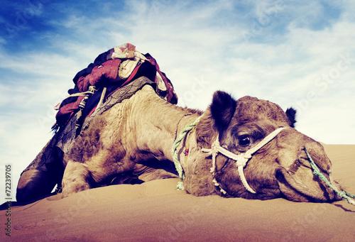 Fotobehang Zandwoestijn Animal Camel Desert Resting Concepts