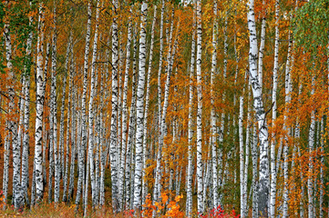 Fototapeta Autumn birch grove as a background