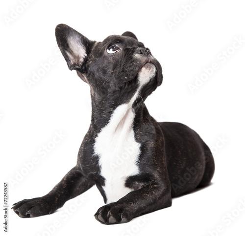 Poster Bouledogue français puppy looking up