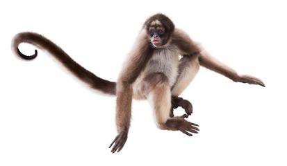Fototapeta long-haired spider monkey