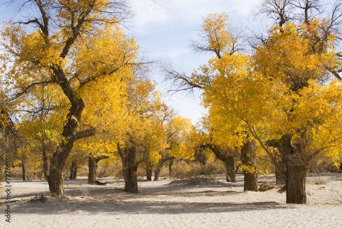 Poplar tree in autumn season