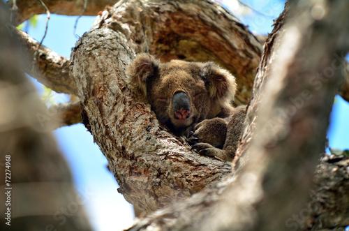Fotobehang Koala Koala sleep on a tree