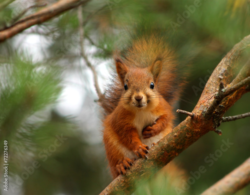Fotobehang Eekhoorn Cute red squirrel in pine tree