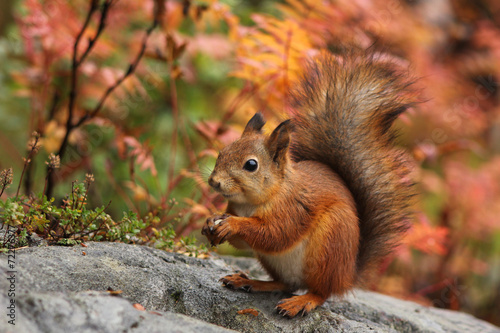 Staande foto Eekhoorn Cute red squirrel in autumn