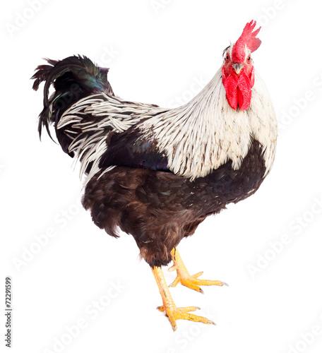 Keuken foto achterwand Kip Black and white rooster in studio