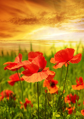 Fototapetapoppies field in rays sun