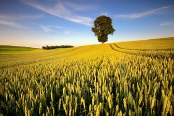 Obraz na Szkle Wiejski Krajobraz wiejski, młode zboże