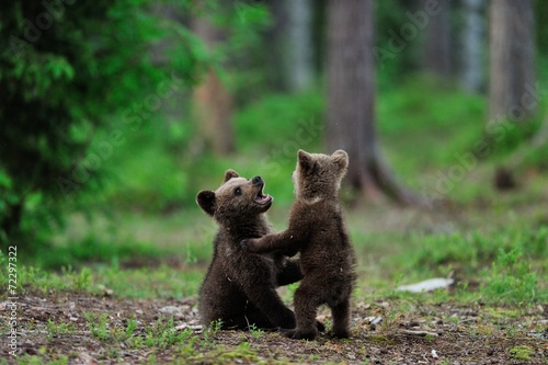 Brown bear cubs playing in the forest Canvas-taulu