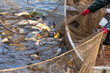 canvas print picture - Autumn harvest of carps from fishpond.