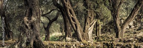 In de dag Olijfboom alte Olivenbäume