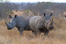 White Rhinos Grazing At Kruger National Park, South Africa
