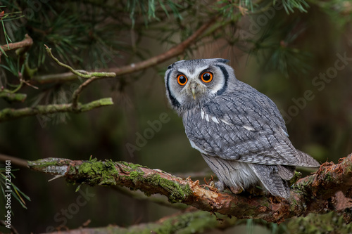 Spoed Foto op Canvas Uil White-faced Scops Owl