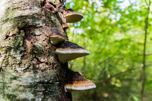 Fotografia, Obraz  Polypore on birch trunk.
