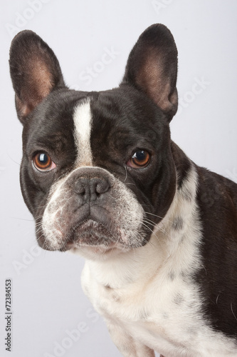 Spoed Fotobehang Franse bulldog Chien en action