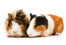 Pair Of Cute Guinea Pigs Isola...