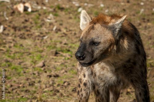 Aluminium Prints Dog Hyena