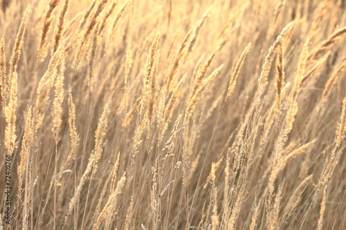 Fotografie, Obraz  sedge grass autumn back background