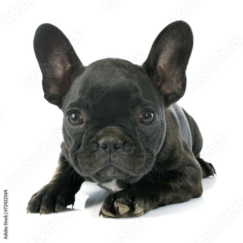 Foto op Plexiglas Franse bulldog puppy french bulldog