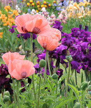 Peach Colored Poppies Amid Iris